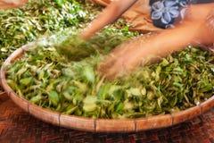 按从叶子的一个女性茶农湿气在竹篮子 土井美斯乐,清莱,泰国 库存照片