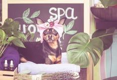 按摩和温泉,在毛巾的头巾的一条狗 库存图片
