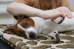 按摩狗的人的手 免版税库存照片