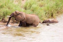 按照他的母亲的婴孩大象 免版税库存照片