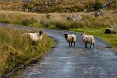 按照的绵羊 免版税库存照片