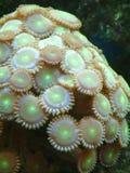 按钮氖珊瑚虫 免版税库存图片