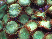 按钮绿色珊瑚虫 免版税库存照片