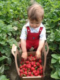 挑库员骄傲的草莓 库存照片