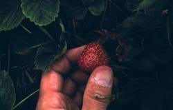 挑库草莓 库存图片
