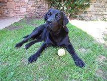 挑战一条黑拉布拉多的狗说谎在与准备好的网球的草和使用 免版税库存照片