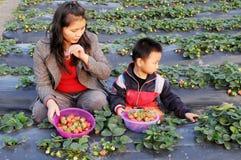 挑选草莓 免版税库存图片