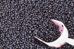 挖出收集蓝莓 免版税库存照片