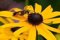 挖掘机的金黄极大的黄蜂 免版税库存照片