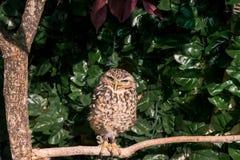 挖洞与看边的大眼睛的猫头鹰 免版税库存照片