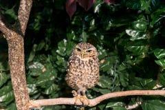 挖洞与看边的大眼睛的猫头鹰 图库摄影
