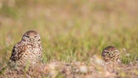 挖洞凝视在照相机,佛罗里达的猫头鹰夫妇  免版税库存照片