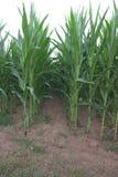 挖洞在玉米玉米之间,玉蜀黍属5月行  库存图片