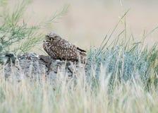 挖洞在领域的猫头鹰 免版税库存照片