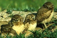 挖洞新的猫头鹰 免版税图库摄影