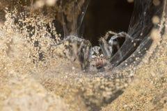 挖洞狼蛛和网入口挖洞在波尼族印第安 免版税库存照片