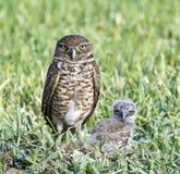 挖洞猫头鹰的婴孩 免版税库存照片