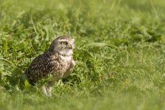 挖洞猫头鹰站立在草原的雅典娜cunicularia 免版税库存照片