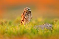 挖洞猫头鹰,雅典娜cunicularia,与美丽的晚上太阳,动物在自然栖所,马托格罗索州,潘塔纳尔湿地,胸罩的习惯晚睡的人 库存照片