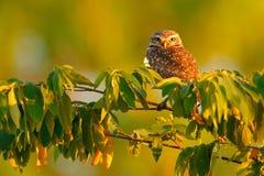 挖洞猫头鹰,雅典娜cunicularia,与美丽的晚上太阳,动物在自然栖所,马托格罗索州,潘塔纳尔湿地,胸罩的习惯晚睡的人 图库摄影