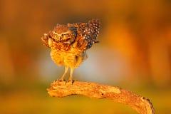 挖洞猫头鹰,雅典娜cunicularia,与美好的晚上太阳光,动物在自然栖所,马托格罗索州, Pantana的习惯晚睡的人 免版税图库摄影