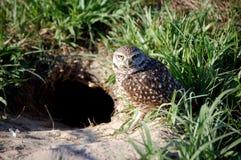 挖洞猫头鹰 库存图片