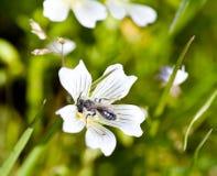 挖洞类limna meadowfoam的andrena蜂 免版税库存照片
