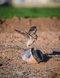 挖洞舒展他的翼的猫头鹰年轻人 免版税库存照片