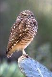 挖洞西部的加利福尼亚接近的猫头鹰 库存图片