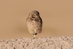 挖洞cunicularia猫头鹰的雅典娜 免版税库存照片