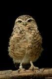 挖洞cunicularia的雅典娜查出猫头鹰 免版税库存图片