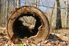 挖空老结构树 库存照片