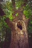 挖空老结构树 免版税库存图片