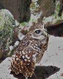 挖洞佛罗里达猫头鹰 库存照片