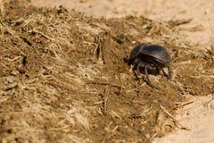 挖洞入一些大象粪的甲虫 图库摄影
