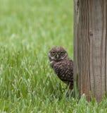 挖洞凝视在岗位附近的猫头鹰 免版税图库摄影