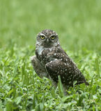 挖洞凝视在绿草的猫头鹰 库存图片