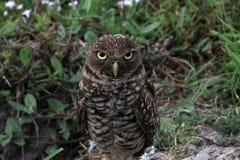 挖洞凝视的猫头鹰您下来领域的 免版税库存照片