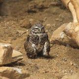 挖洞在地面上的猫头鹰 免版税图库摄影