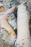 挖洞在树孔的猫头鹰立场 免版税图库摄影