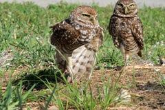 挖洞在行动的猫头鹰夫妇 免版税库存图片