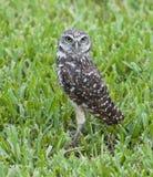 挖洞在绿草的猫头鹰 免版税图库摄影