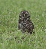 挖洞在绿草的猫头鹰 库存图片