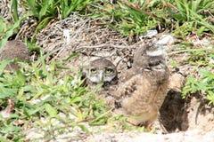 挖洞涌现从巢的猫头鹰小鸡 库存图片