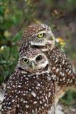 挖洞猫头鹰在领域的夫妇画象 库存图片