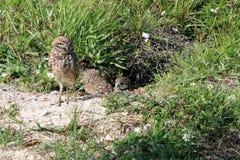 挖洞猫头鹰夫妇和小鸡在巢 免版税库存图片