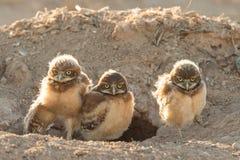 挖洞猫头鹰小鸡 库存照片