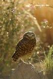挖洞猫头鹰有软,梦想的背景 免版税图库摄影