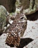 挖洞猫头鹰的佛罗里达站立在地面 免版税库存图片