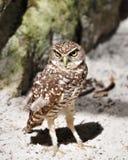 挖洞猫头鹰的可爱的佛罗里达 免版税库存图片